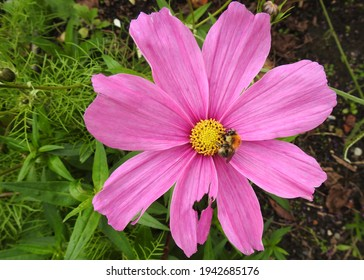 Pink cosmos flower and common carder bee