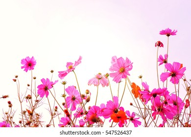 Pink Cosmos flower field with sky.