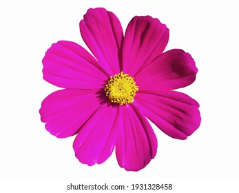 Pink cosmos flower isolated on white background. Cosmos flower is an ornamental plant that is native to Central America. Is a short-lived flowering plant like cool weather. - Shutterstock ID 1931328458