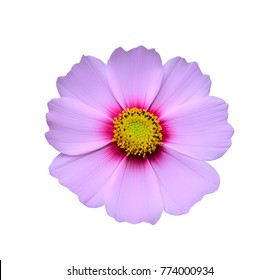 pink cosmos flower isolated on white background with clipping path