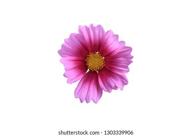 Pink cosmos flower on white isolate background with clipping path. flower objetive for use.