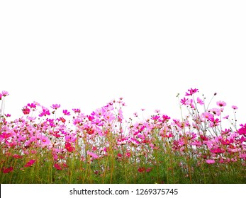Pink cosmos flower and red cosmos flowers with cosmos stem Blossoming in the garden.