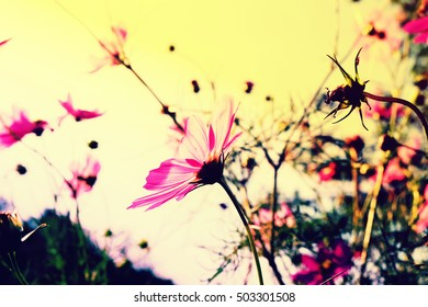 Pink Cosmos flowers blooming with blue sky.