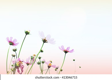 Pink Cosmos flowers blooming in the garden with sky