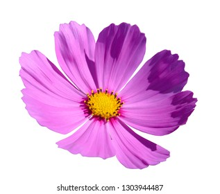 Pink cosmos flowers blooming isolated on the white background, clipping path