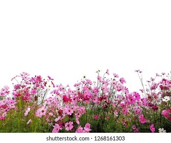 pink Cosmos flowers and dark pink Cosmos flowers with green cosmos stem isolated on white background.