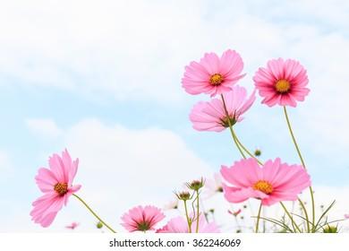 Pink cosmos flowers in field.