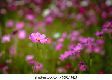 Pink cosmos flowers field