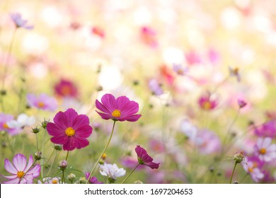 A pink cosmos flowers in flower field