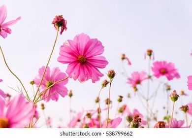 Pink cosmos flowers garden.