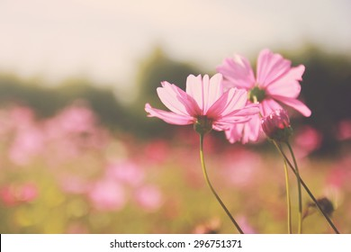 Pink cosmos flowers in the garden with retro filter effect