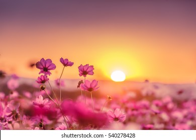 Charmant Pink Cosmos Flowers Garden In Sunset Time
