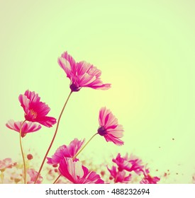 Pink Cosmos flowers isolated on white.