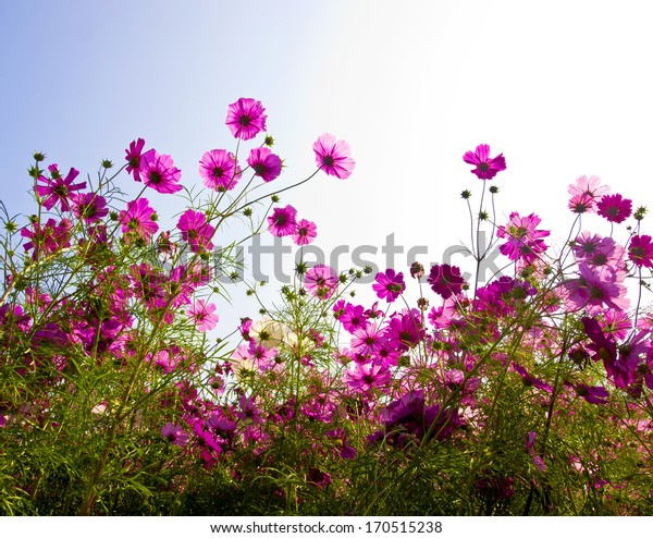 pink cosmos flowers on sky background
