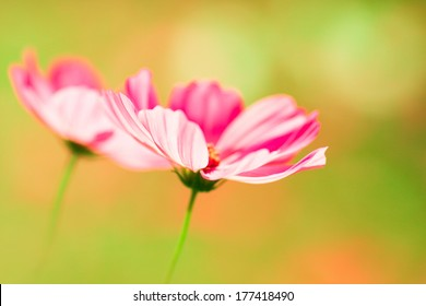 Pink cosmos flowers on warm light creamy green, yellow and orange bokeh background