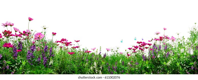 Pink cosmos flowers on white background