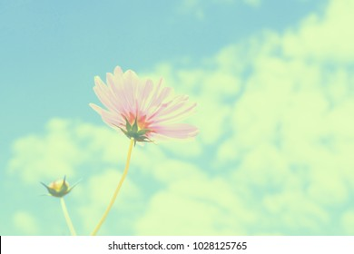 pink cosmos flowers with sky.