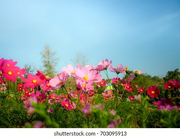 Pink cosmos flowers under blue sky