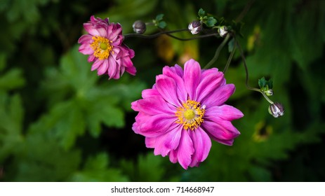 Pink cosmos isolated above a green, leafy undergrowth