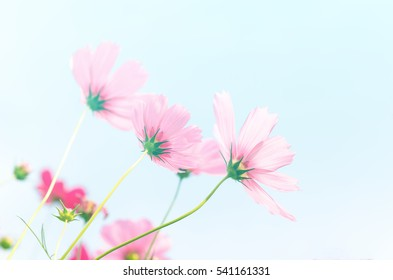 Pink cosmos with light blue sky background