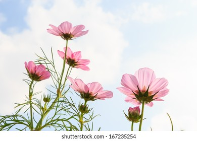 pink cosmos (Cosmos sulphureus) with translucent at petal and cloudy blue sky