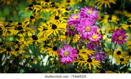 Pink cosmos surrounded by a bed of black-eyed susan