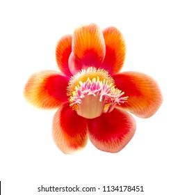 Pink couroupita flower isolated on white background