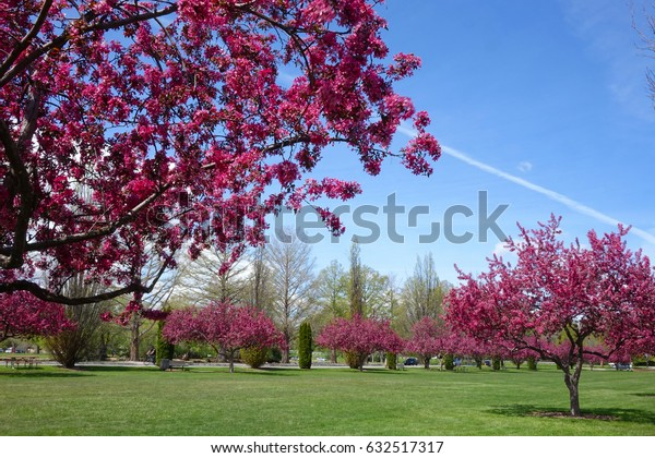 Pink crab apple blossoms brighten a city park in Boise, Idaho during Spring.