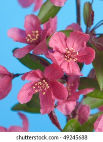 Pink crab apple flowers bloom against a blue sky in Spring