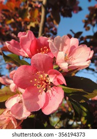 Pink crabapple blossoms in the springtime