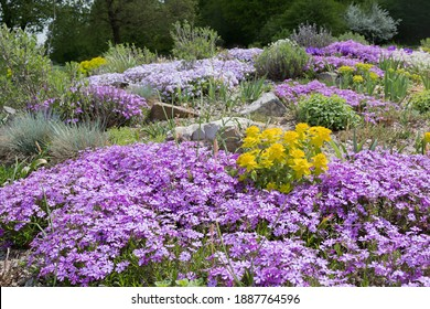 pink creeping phlox and grasses in a rockery garden outdoor