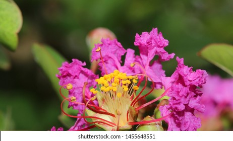 Pink Crepe Myrtle - Close up photograph of fresh springtime pink Crepe Myrtle flowers.  Selective focus on the center of the photograph.  - Shutterstock ID 1455648551