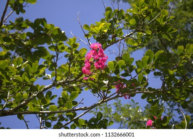 Pink Crepe Myrtle flower and green leaves upward shot against a deep blue sky