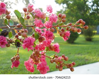 Pink crepe myrtle with raindrops against natural grass and bush background