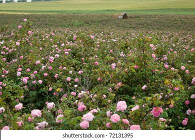pink crimean rose in sunny garden