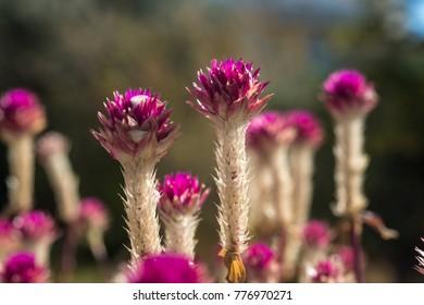 Pink crimson clover