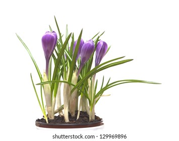 Pink crocuses flowers in plastic pot isolated on white