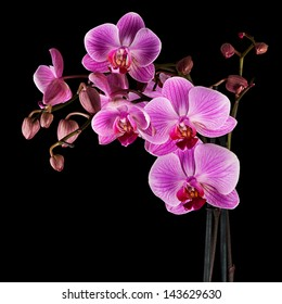 Pink cultivated orchid isolated over black background - ideal greeting card