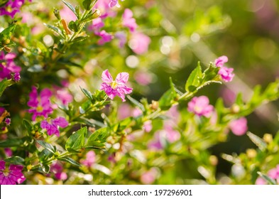 Pink Pink Cuphea hyssopifolia or false heather or Mexican heather or Hawaiian heather or elfin herb flower flower in the garden or nature park Thailand