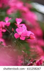 Pink cute flower