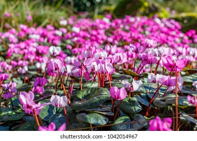 Pink  Cyclamen coum ( eastern sowbread ) and Cyclamen hederifolium ( ivy-leaved cyclamen or sowbread ) flowering plants bloom from winter to spring. Early spring magenta cyclamen flowers in garten
