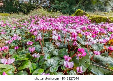 Pink  Cyclamen coum ( eastern sowbread ) and Cyclamen hederifolium ( ivy-leaved cyclamen or sowbread ) flowering plants. Early spring magenta cyclamen flowers in garten