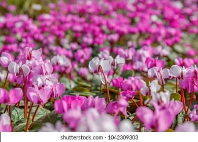 Pink  Cyclamen coum ( eastern sowbread ) and Cyclamen hederifolium ( ivy-leaved cyclamen or sowbread ) flowers. Early spring magenta cyclamen flowers in garten