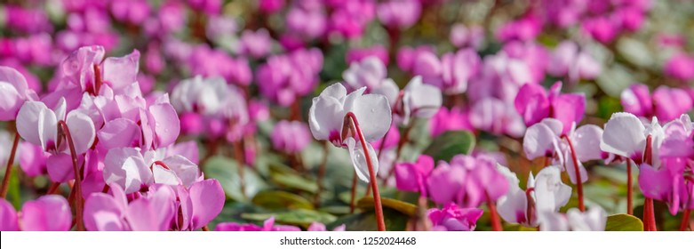 Pink Cyclamen coum ( eastern sowbread ) and Cyclamen hederifolium ( ivy-leaved cyclamen or sowbread ) flowering plants bloom from winter to spring, banner