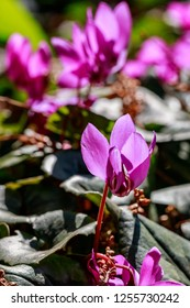 Pink Cyclamen coum ( eastern sowbread ) and Cyclamen hederifolium ( ivy-leaved cyclamen or sowbread ) flowering plants bloom from winter to spring