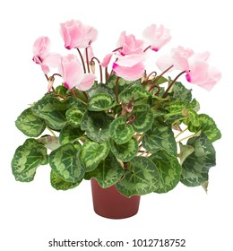 Pink cyclamen flower in a pot isolated on white background. Summer. Spring. Flat lay, top view. Love. Valentine's Day