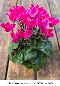 Pink Cyclamen flower in a pot on wooden table, also called English sowbread, Swinebread