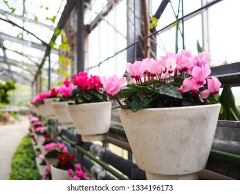 Pink cyclamen flowers in the hanging pot for decoration in garden