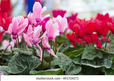 Pink cyclamen flowers in the new season in Rayong, Thailand.