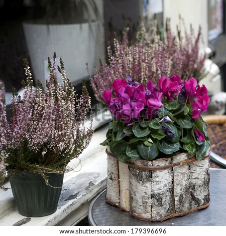 Pink cyclamen in a pot birch bark packaged as a decoration of street cafe